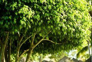 ¿Por qué un Ficus está perdiendo las hojas?