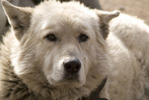 Cómo limpiar el perro olor de la orina