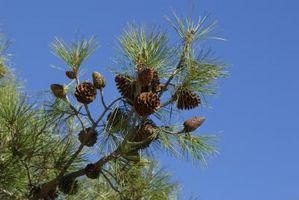 La diferencia entre la polinización y fertilización de los árboles de pino