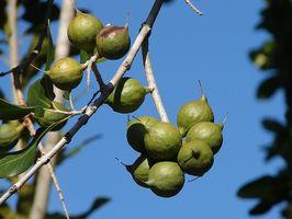 El cultivo de árboles de frutas y frutos