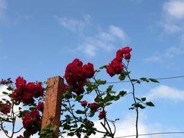Los rosales son tóxicos para los perros?