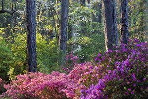 Azaleas con las hojas marrones