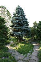 El mejor suelo para Colorado Blue Spruce árboles