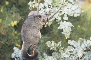 Cómo hacer una trampa hecha a mano Possum en un arbusto