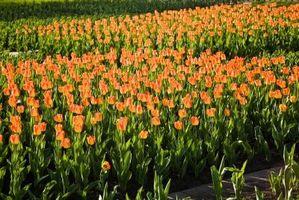 Cómo cuidar de flores de Holanda