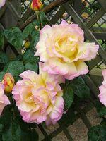 Cómo cuidar y podar los rosales trepadores