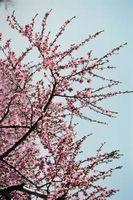 Las flores que crecen en los árboles