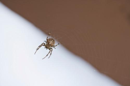 Control de araña con las castañas