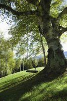 Cómo arreglar un árbol de cuya corteza Missing