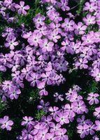 Las flores perennes que florecen durante un tiempo largo