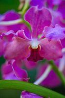 Mis hojas son de color amarillo y la orquídea marchita