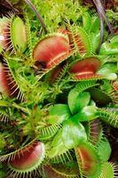 Plantas vivas Bug-Comer