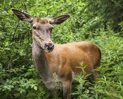 Ciervos resistente Arborvitae