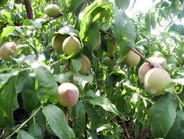 Cómo plantar árboles de durazno en Oklahoma