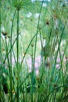 ¿Cuál es el ciclo de vida de una planta vascular sin semillas?