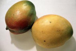 Los árboles de mango en el área de la bahía