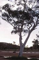 Eucalyptus es una madera dura o blanda?
