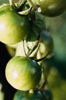 Los insectos y los plantadores colgantes de tomate