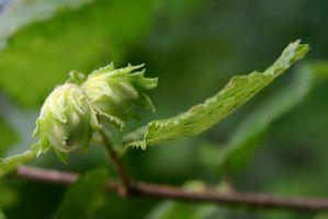 Los árboles de frutos secos que pueden crecer en los Estados del noroeste
