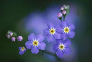 ¿Qué flores son de color azul?