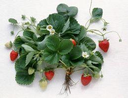 ¿Cuál es la diferencia entre Junio-cojinete y Everbearing Fresas?