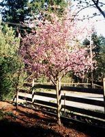 ¿Cuál es la forma correcta de podar un árbol de cerezo?