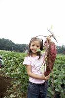 ¿Cómo hacer crecer una planta de patata dulce rápidamente