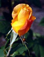 Gusanos de las yemas en Roses