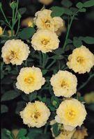 Las rosas miniatura pueden tomar temperaturas de congelación?