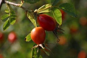 ¿Los Semillas Plantas Rose Mismos dejando caer las vainas de rosa mosqueta?