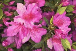 Las variedades enanas de la azalea