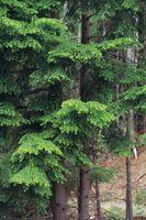 Qué es una buena madera Conservante para un abeto?