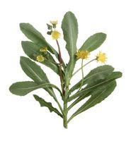 Las plantas de malas hierbas con las hojas del cardo-tipo liso