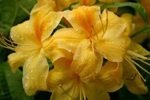 Verano-Blooming azaleas