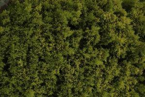 Cómo matar a Moss con sulfato de amonio