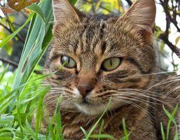 Es una planta venenosa Jade a los gatos?