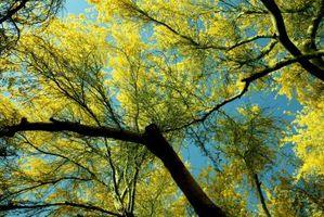 Cómo plantar un árbol de Palo Verde