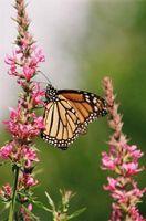 Mariposa Flores polinizadas