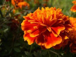 Híbridos Semillas y Plantas de caléndula