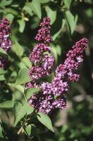 Lilas y Problemas con las hojas marrones