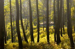¿De qué manera los árboles de pino sobrevivir en un clima seco?