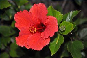 ¿Qué flores son nativos a Hawaii?