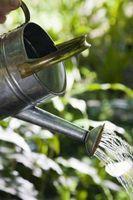 ¿Cuánta agua se requieran planta Stephanotis?