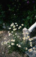 ¿Cuándo Wild margaritas Bloom?