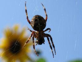 Tipos de arañas en el este de Texas