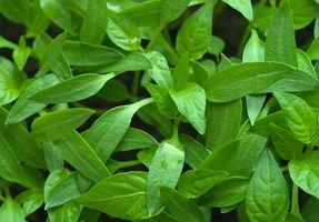 ¿Por qué se caen las hojas de plantas de pimiento verde