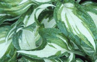 El mejor momento para trasplantar perennes como liliáceas y Daylilies