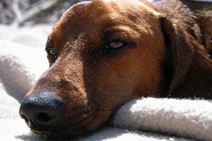 Casera del removedor de la orina del perro