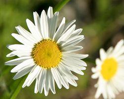 La diferencia entre las margaritas y flores regulares