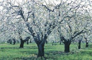 Cómo podar los árboles de durazno y Apple en Carolina del Sur